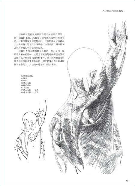小腿(一) 小腿(二) 腿 脚 颈 脸 外表形态 第二章素描表现 动态